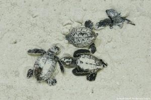 North Island, Wilderness Safaris, Schildkröten schlüpfen