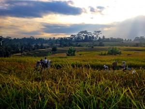 Reisfelder rund um Ubud