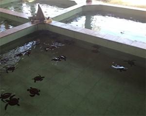 Turtle Sanctuary_Gili Meno